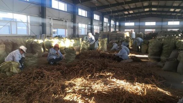 TCM herb growth cures farmers' poverty woes