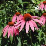 Master Gardener: A garden worth dyeing for – an alternative use of herbs