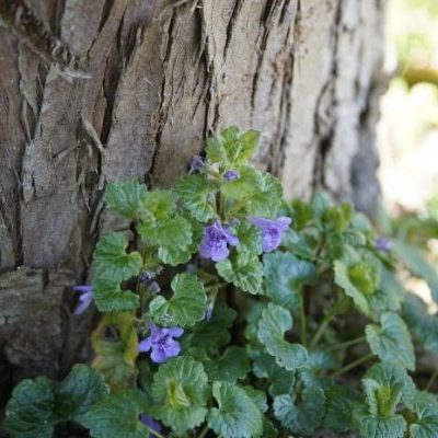 How to treat seasonal allergies with wild herbs