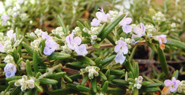 Helen Chesnut's Garden Notes: Aromatic Mediterranean herbs are drought tolerant
